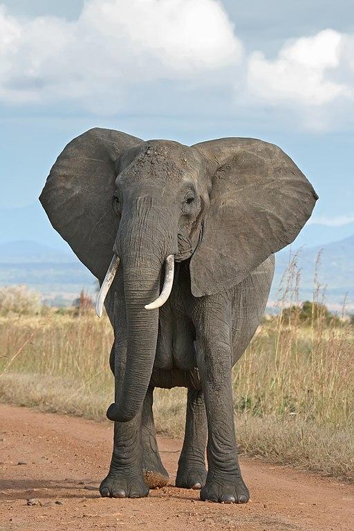 https://commons.wikimedia.org/wiki/File:African_Bush_Elephant.jpg